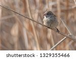 sparrow on reed at lake | Shutterstock . vector #1329355466