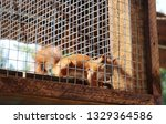 Red Squirrel In A Cage