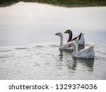 Family Of Three Geese Swimming...