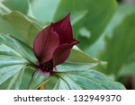 Small photo of The maroon petals of a prairie trillium open above its green petals