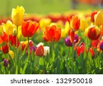multi coloured tulips and... | Shutterstock . vector #132950018