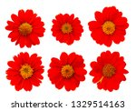 Mexican Sunflower Isolated White Background - Fine Art prints