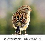 sparrows feeding. sparrows... | Shutterstock . vector #1329706403