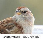 sparrows feeding. sparrows... | Shutterstock . vector #1329706409