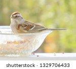 sparrows feeding. sparrows... | Shutterstock . vector #1329706433