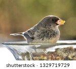 junco's eating birdseed.... | Shutterstock . vector #1329719729
