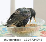eastern starling eating... | Shutterstock . vector #1329724046