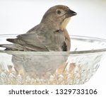 brown headed cowbirds eating... | Shutterstock . vector #1329733106