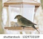 brown headed cowbirds eating... | Shutterstock . vector #1329733109
