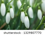 lovely snowdrop flowers ... | Shutterstock . vector #1329807770
