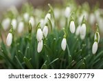 lovely snowdrop flowers ... | Shutterstock . vector #1329807779