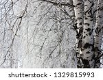 morning frost painted birch... | Shutterstock . vector #1329815993
