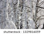 morning frost painted birch... | Shutterstock . vector #1329816059