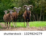 Big European Moufflon In The...