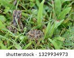 a close up of two stripy frogs... | Shutterstock . vector #1329934973