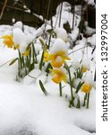 Daffodils With A Covering Of...