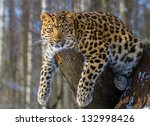 amur leopard resting on the... | Shutterstock . vector #132998426