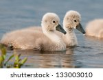 Cute Little Cygnets On A Lake...