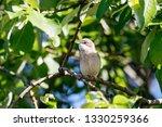 common whitethroat sitting on... | Shutterstock . vector #1330259366