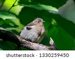 common chaffinch juvenile... | Shutterstock . vector #1330259450