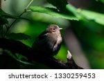 common chaffinch juvenile... | Shutterstock . vector #1330259453