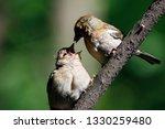 common chaffinch juvenile... | Shutterstock . vector #1330259480