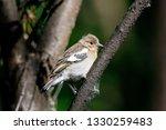common chaffinch juvenile... | Shutterstock . vector #1330259483