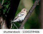 common chaffinch juvenile... | Shutterstock . vector #1330259486