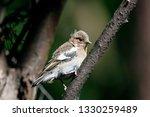 common chaffinch juvenile... | Shutterstock . vector #1330259489