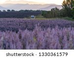 Small photo of A white car runs through the lavender fields one spring morning
