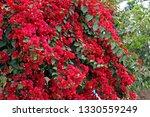 Red Bougainvillea Flowers ...