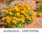 Eschscholzia Californica Each...