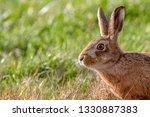 Stock photo european brown hare lepus europaeus in summer farmland setting united kingdom 1330887383