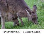 A Mother Kangaroo And Its Joey...
