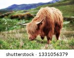 highland cow in the scottish... | Shutterstock . vector #1331056379