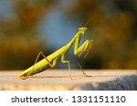 Female European Mantis Or...