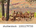 australian feral camels  mostly ... | Shutterstock . vector #1331179733