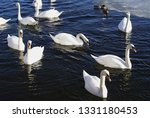 swans swimming in the water...   Shutterstock . vector #1331180453