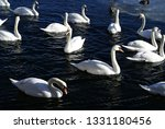swans swimming in the water...   Shutterstock . vector #1331180456