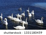 swans swimming in the water...   Shutterstock . vector #1331180459