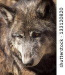 large wolf in captivity. | Shutterstock . vector #133120820