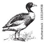 antigua,antiguo,arte,ilustración,aves,pico,proyecto de ley,ave,negro,común,dibujo,pato,huevo,grabado,grabado