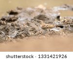 chestnut shouldered petronia... | Shutterstock . vector #1331421926