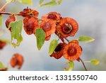 jerusalem thorn or paliurus... | Shutterstock . vector #1331550740