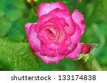 beautiful pink rose with rain... | Shutterstock . vector #133174838
