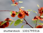 branches of jerusalem thorn or... | Shutterstock . vector #1331795516