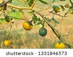 thai eggplant yellow berried... | Shutterstock . vector #1331846573