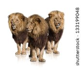 group of wild lions isolated on ... | Shutterstock . vector #133199048