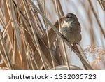 sparrow on reed at lake | Shutterstock . vector #1332035723