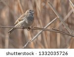 sparrow on reed at lake | Shutterstock . vector #1332035726